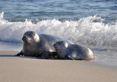 Image of sea lions in La Jolla