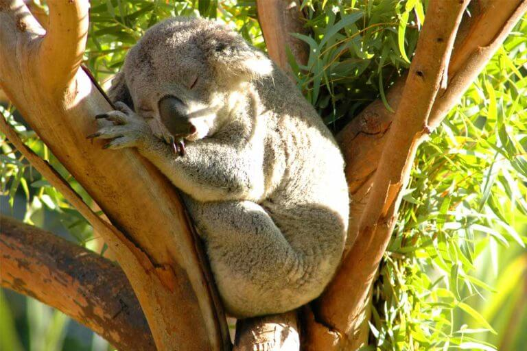 A koala fast asleep between the branches of a Eucalyptus tree in the San Diego Zoo