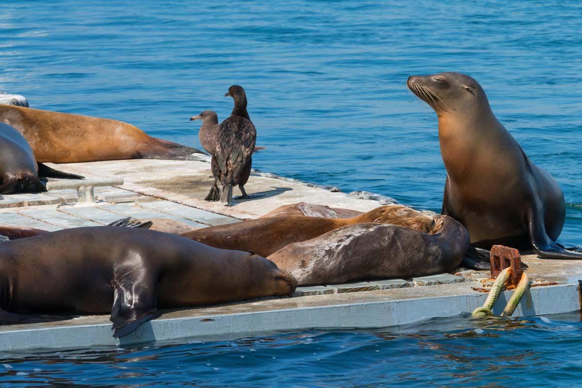 Image of San Diego Sea Lions in the harbor
