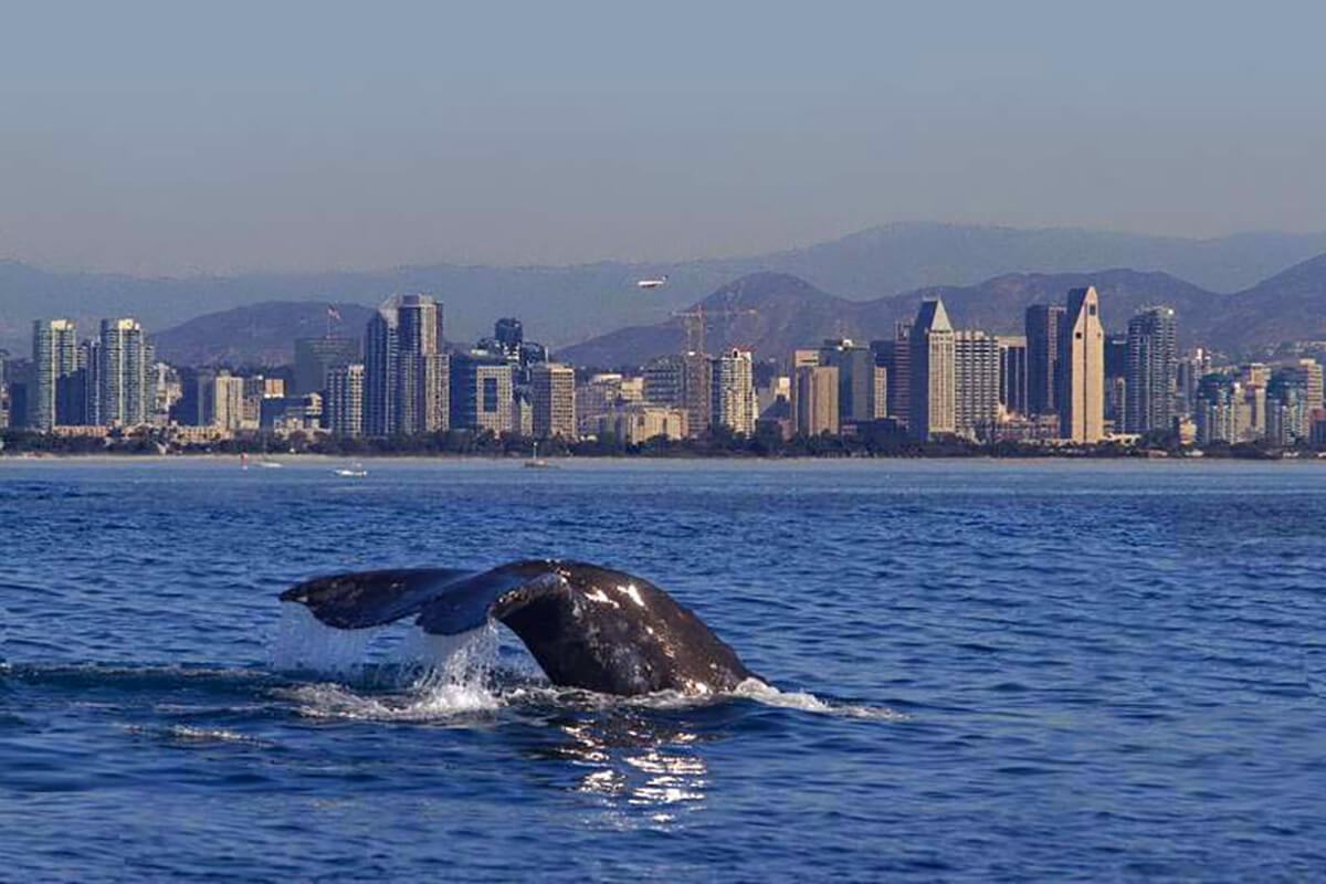 Image of Whale Breaching in San Diego Harbor
